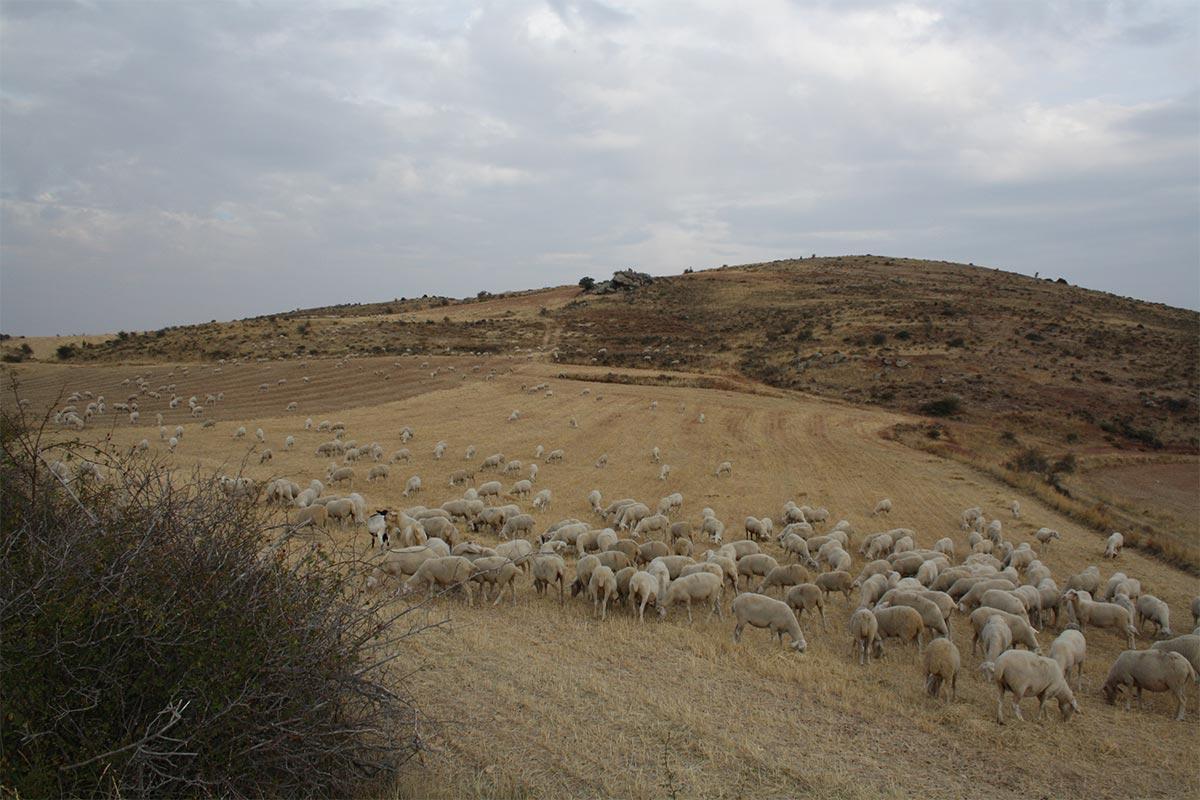 rebaño de ovejas en el campo