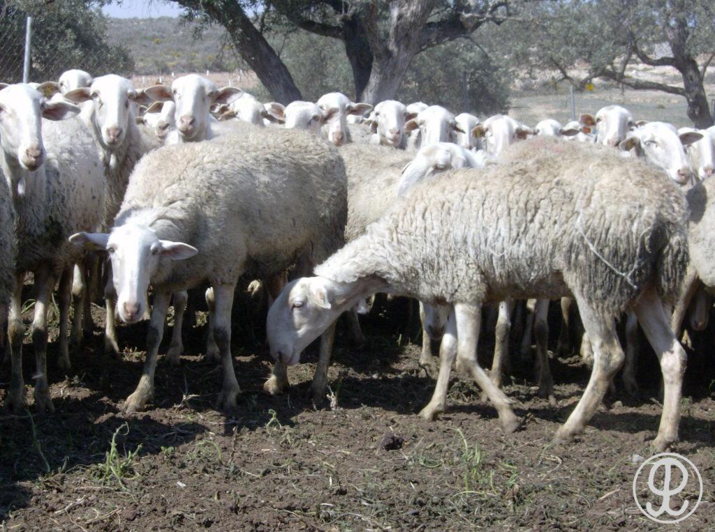 ovejas maellanas