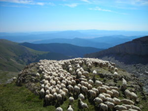 rebano ovejas