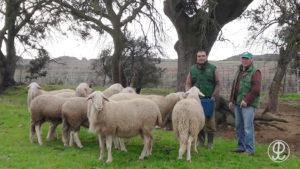 ganadería ovino Grupo Pastores