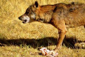Lobo comiendo una presa